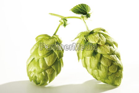 two hop umbels close up
