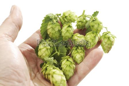 hand holding hop vine close up