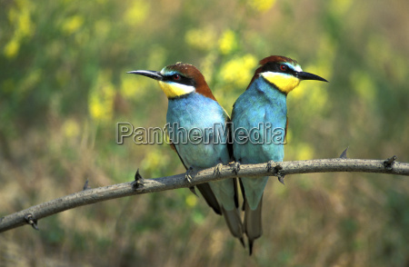 male and female european bee eaters