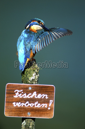 kingfisher on signboard saying fishing forbidden