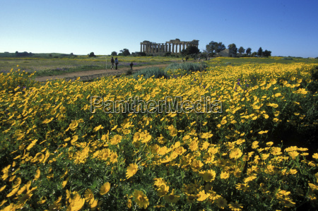 italy sicily selinunte flower bed with