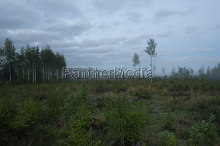 finland birch trees scenery with fog