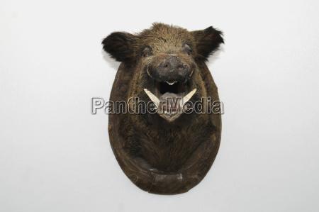 montierter wildschweinkopf studioaufnahme