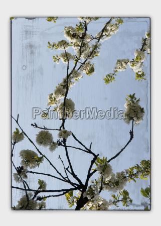 collage kirschbluete durch fenster gesehen nahaufnahme