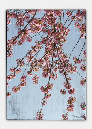germany stuttgart cherry blossom seen through