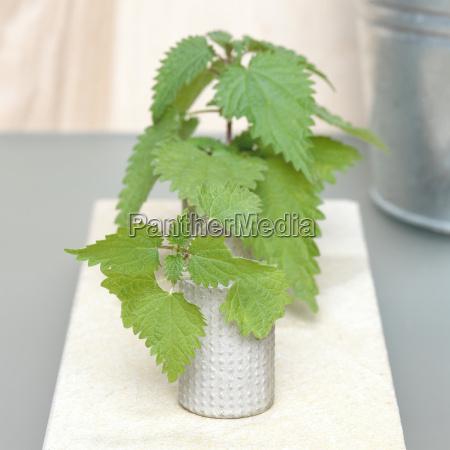 stinging nettle in flower vase urtica
