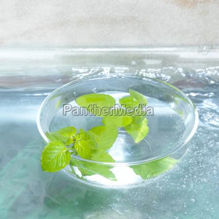 mint in glass bowl mentha close