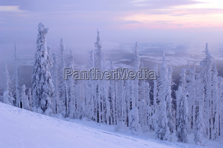 bavarian forest snow covered trees
