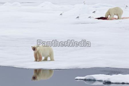 tier vogel baer eisbaer arktis kalt