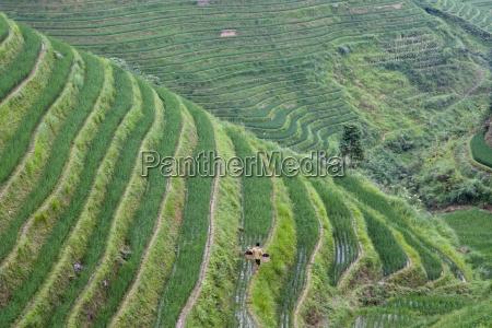 china loncheng blick auf terrassenreisfeld