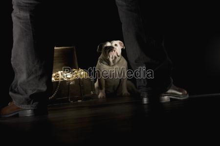 bulldogge sitzt naechste schatztruhe mann im