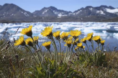 grennland flower meadow