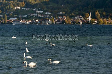 switzerland berlingen mute swans swimming in