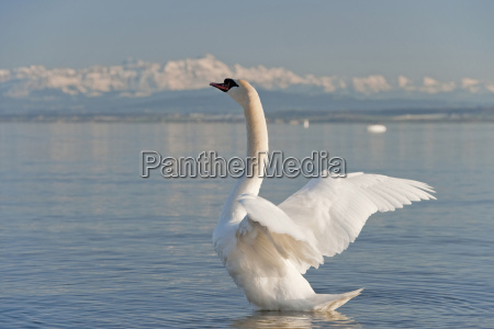 germany hagnau lake constance alps swan