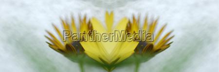 daisy bush close up