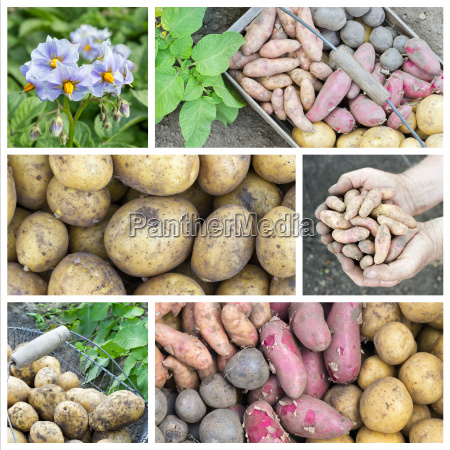 collage with different potato varieties