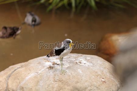 weisskoepfiger kiebitz namens vanellus albiceps