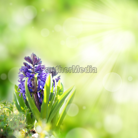 hyacinth flowers in spring