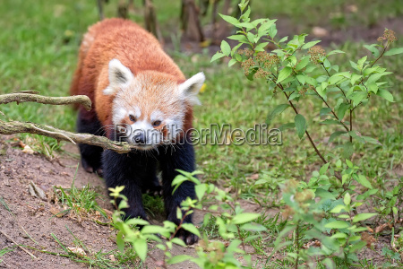 red panda bear in the wild
