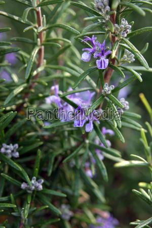 flowering rosemary shrub