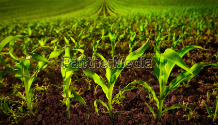 corn field with young plants and