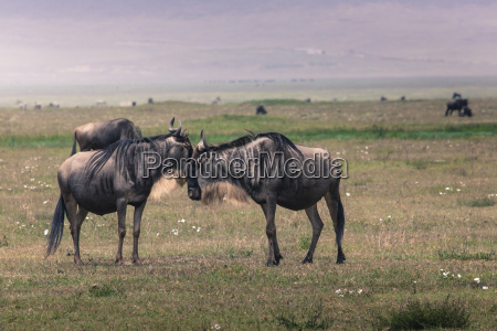 a wildebeest mother and newly born