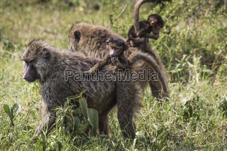 baboon mother walking through the savannah