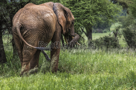 huge african elephant bull in the