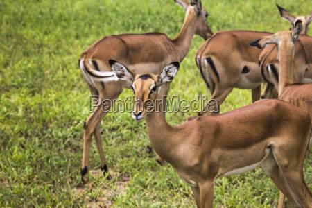 female impala antelopes in maasai mara