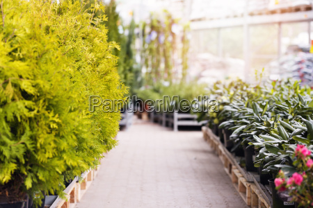 thuja trees and rhododendrons for sale