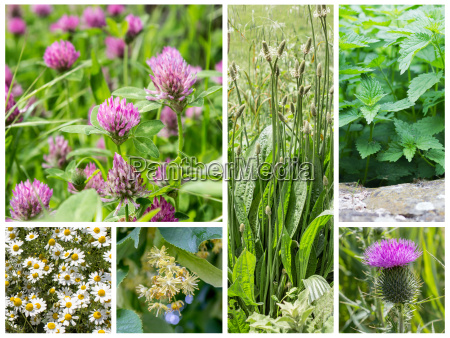 collage with medicinal herbs and wild