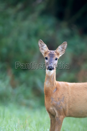 roe deer in a clearing a