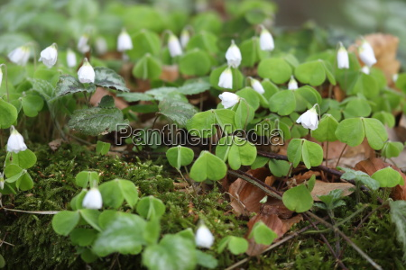 lucky clover in the forest