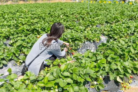 asiatische junge frau geniessen kommissionierung erdbeere