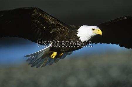 Aguila calva en vuelo