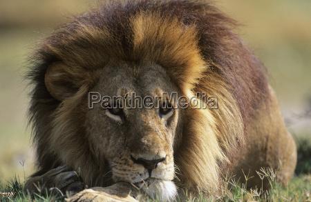 maennlicher loewe der auf savanne liegt