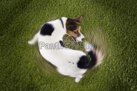 jack russell terrier chasing tail