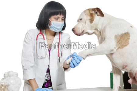 weibliche tierarzt mit hund pfote ueber