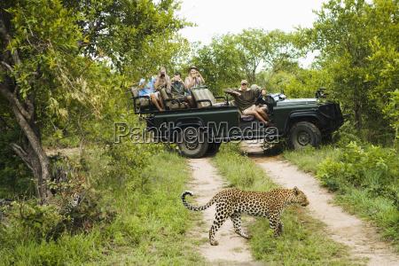 leopard crossing road mit touristen im
