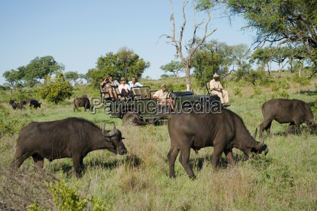 afrikanische bueffel mit touristen im hintergrund