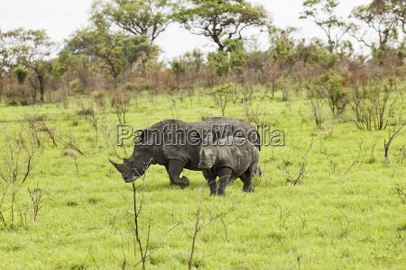 nashoerner in der savanne