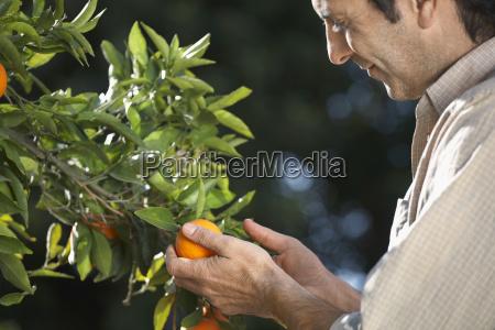 landwirt untersucht orangen auf baum in