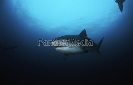 unterwasseransicht des tiger haifischs galelcerdo cuvieri