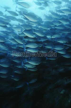 raja ampat indonesia pacific ocean school