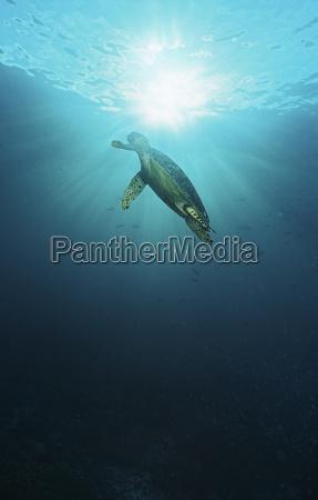 raja ampat indonesien pazifischer ozean hawksbill