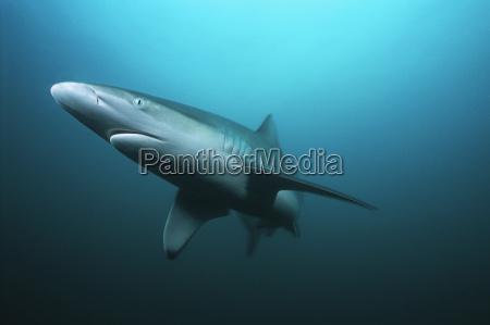 aliwal shoal indischer ozean suedafrika tigerhai