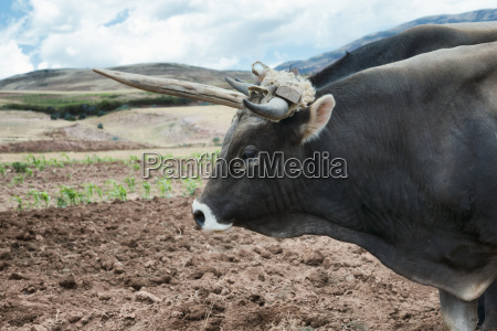 close up view of an ox