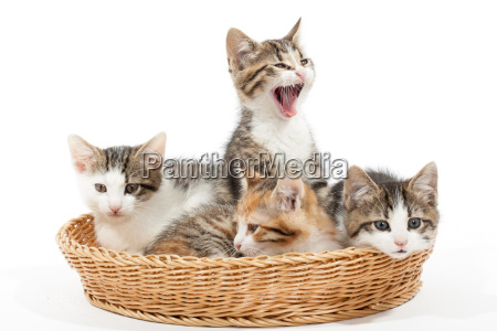 group of young kittens in the