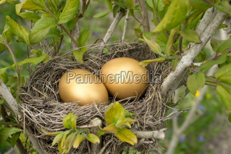 bird nest with two golden eggs