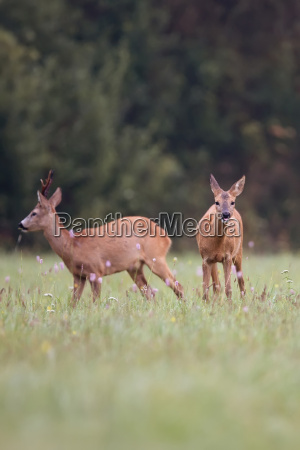 roe deer with buck deer in